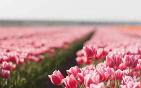 cvety, тюльпаны, природа, цветов, красивые, summer, мар, мира, красивых, самые, тюльпанов,