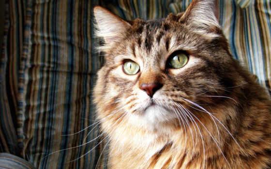 кот, пушистый, норвежская, лесная, дороге, серый, порода, that, кошки, сидит,