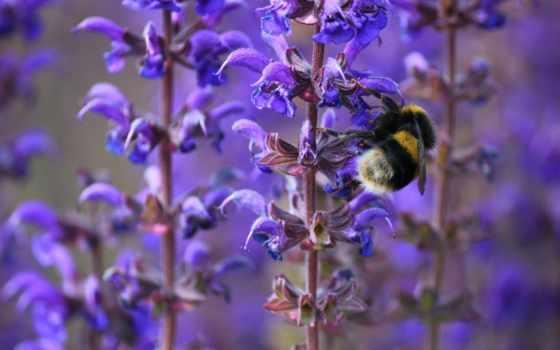 cvety, пчелка, макро, насекомое, bumblebee, весна, сиреневые, цветы, полевые, branch,