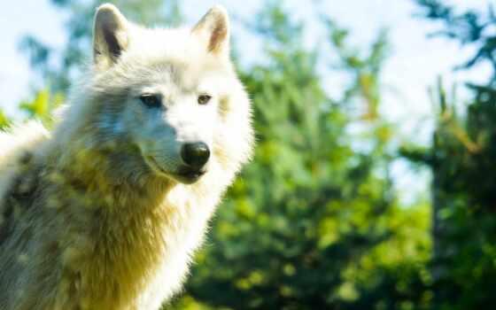 волк, морда, хищник, красивый, порода, группа, мех, собака