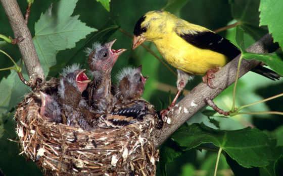 щегол, птицы, carduelis, птиц, американский, птенцами, kot,