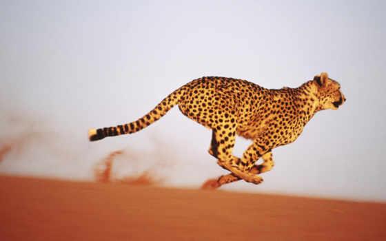 гепард, скоростью, бежать