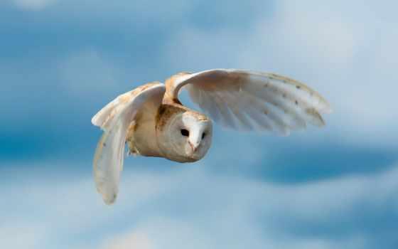 сова, белая, птица, полете, полет, крылья,