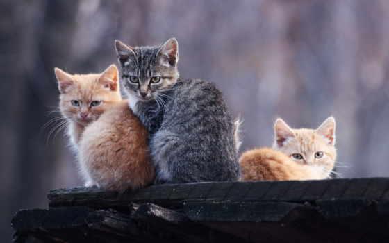 коты, рыжие, серый, котята,