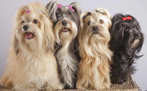 апсо, lhasa, собаки, картинка, собак, зооклубе, фото, zooclub, порода,