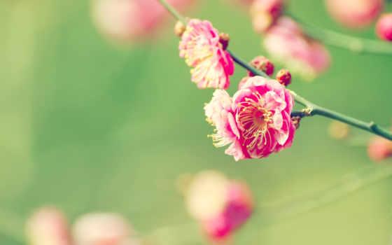 cvety, Сакура, priroda