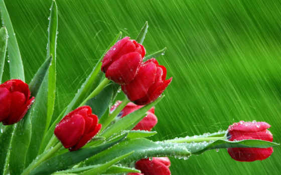 розы, красные, цветы