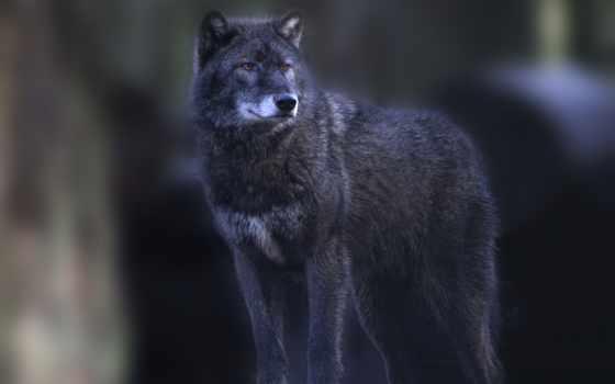 волк, стоит, широкоформатные, лес, осень, хищник,