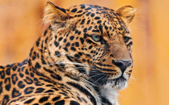 леопард, гепард, zhivotnye