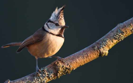 птица, птицы, ирокезом