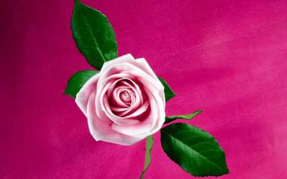 роза, розовый, free