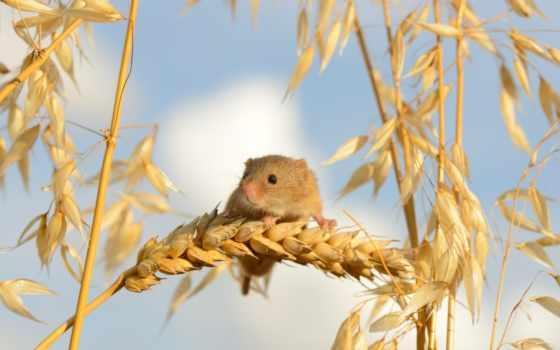 mouse, baby, макро, колосья, урожай,