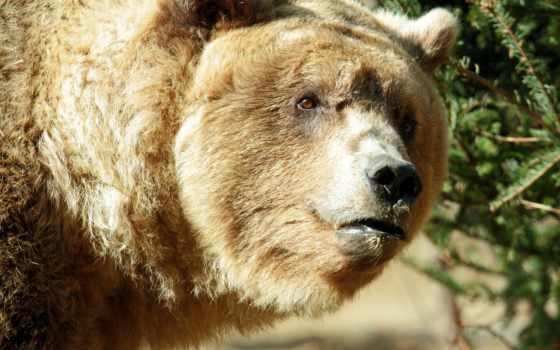 obrázky, медведи, pozadia, медведь, браун,
