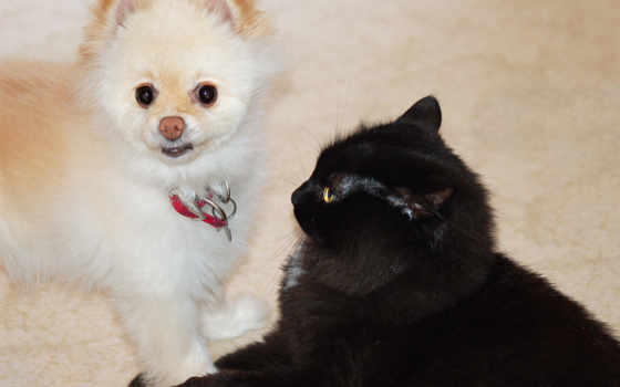 black, white, кот, собака, animals,