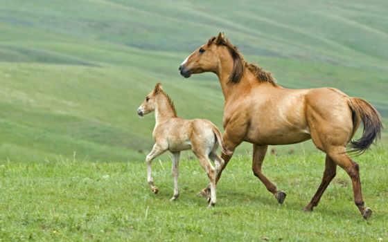 лошадь, жеребенок, horses