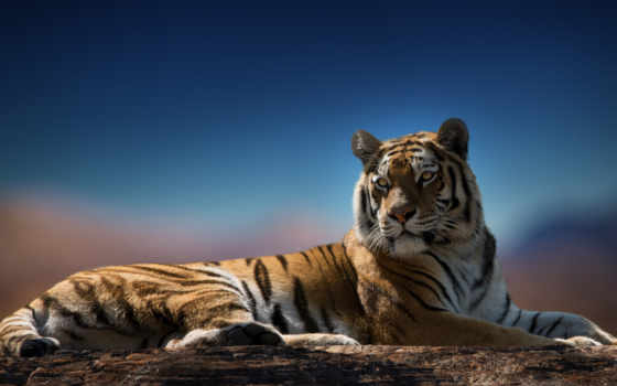 тигр, zhivotnye, красивые, тигры, лучшая, уже, загружено, subscribe, followers, коллекция,