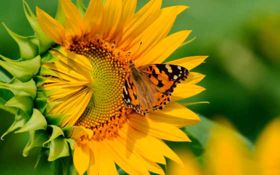 бабочка, бабочки, подсолнух,