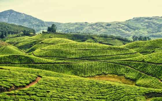 плантации, india, чайные, чая, kerala, индии, плантация, муннар,