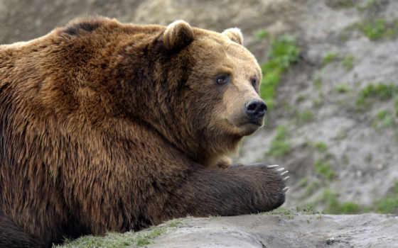 orso, русского, медведя,