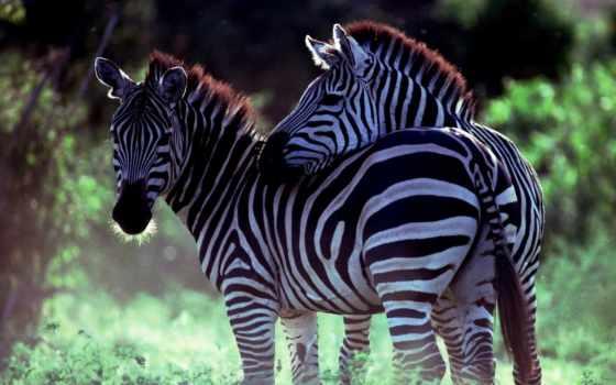 full, zhivotnye, zebra, животных, картинка, pisces, зебры, птицы,