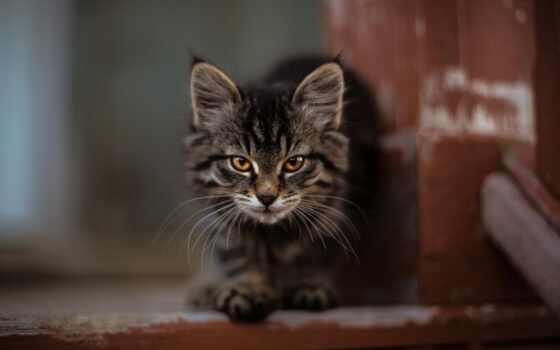 кот, котенок, cute, kitty, pet, мэн, кун, striped, пушистый