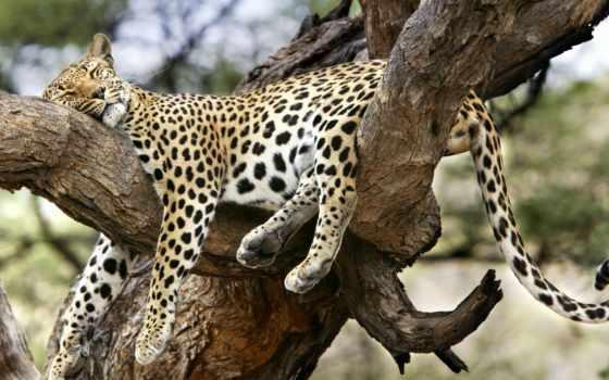 sfondi, leopardo, zhivotnye