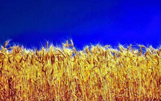 украины, ukrainian, пшеница, небо, страница, красивые, rye, флаг, природа,