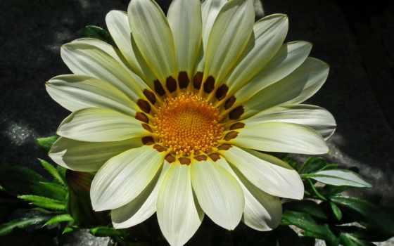 gazania, kwiat, kwiaty