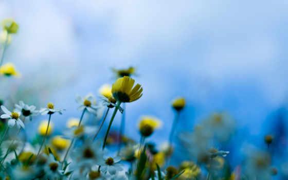 цветы, луговые, картинка