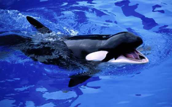 кит, orca, orcinus