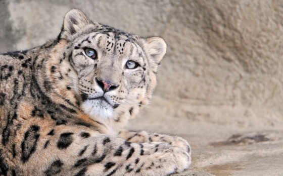 леопард, снег, высоком