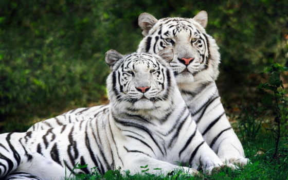 zhivotnye, дикие, альбиносы, white, тигров, тигр,