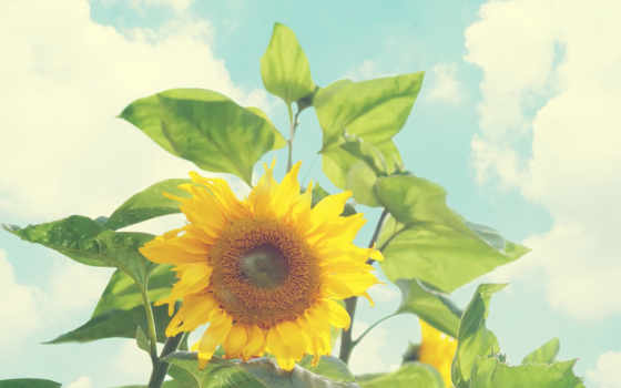 flowers, عکس, with, pictures, небом, голубым, подсолнух, расцвел, под, бело,