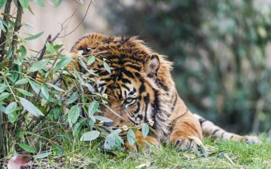 тигр, сзади, листья, free, pictures, природе,
