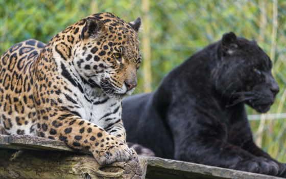 panther, пантеры, яndex, коллекциях, пантеру, levinskaya, посмотрите, коллекцию, collections,