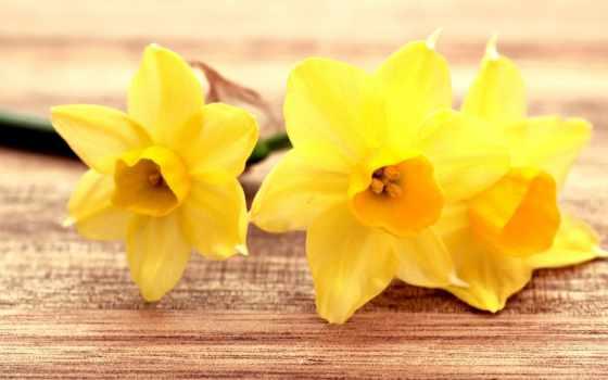 страница, cvety, нарциссы, free, yellow,