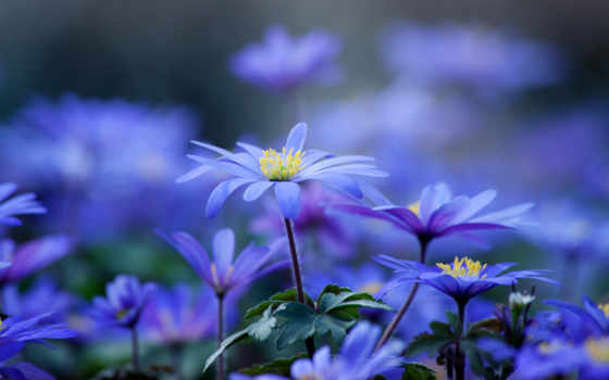 цветы, голубые, цветов