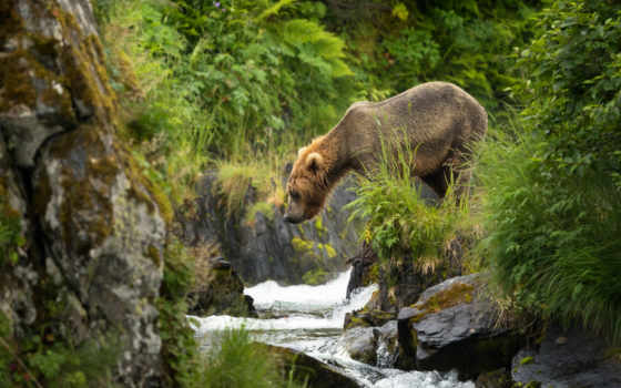 медведь, кадьяк, браун, аляска, desktop, природа, кабан, остров,