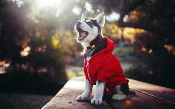 хаска, щенок, собака, одежда, animal, порода, red, ava, поднять, high, лапа