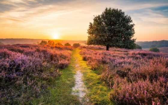свет, утро, heather, summer, sun, красивый, weed, поле, природа, дорогой, дерево