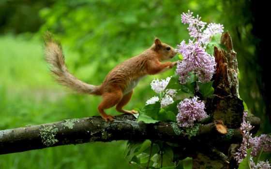 белки, цветы, сиреневый