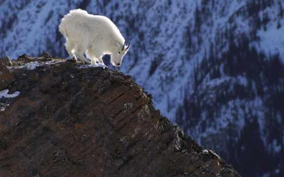 козел, горный, белый