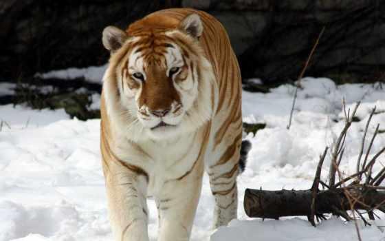 mundo, tigre, mais