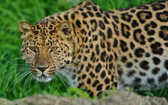 биг, животные, год, леопард, леопарды, jorgebarbera,