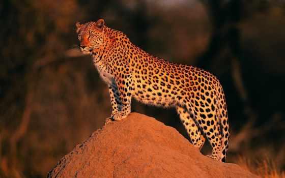 леопард, всматривается