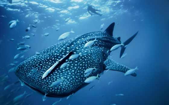 акула, китовая, her