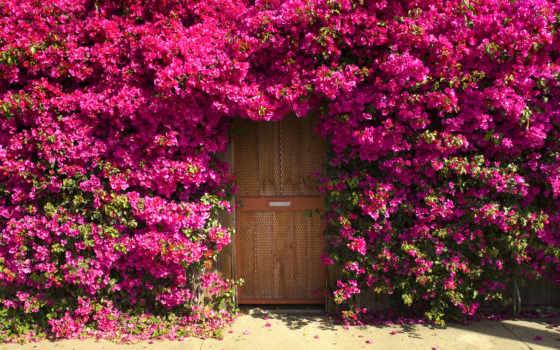 красавица, дверь, забор, ковёр, бугенвиллия, любви, жизни,