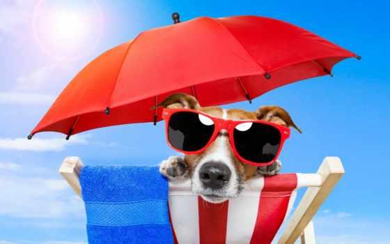 собака, очки, summer