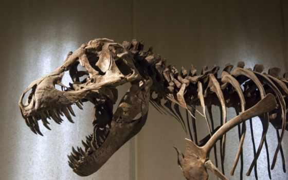 тиранозавр, rex, skelett, dw, raksasa, dinosaurus, das, iptek, fototapete, ditemukan,
