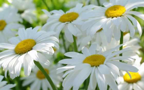 Цветок, oxeye daisy
